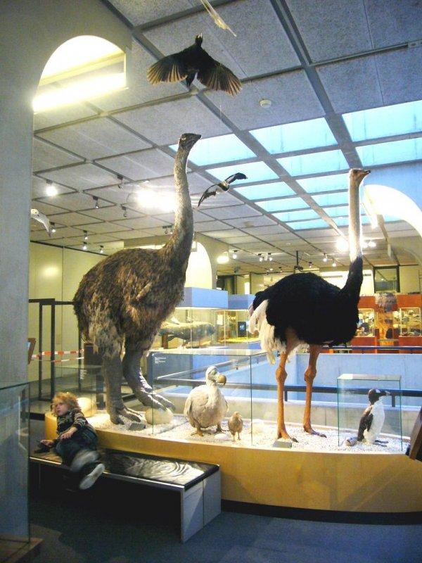 Aepyornis, olifantsvogel
